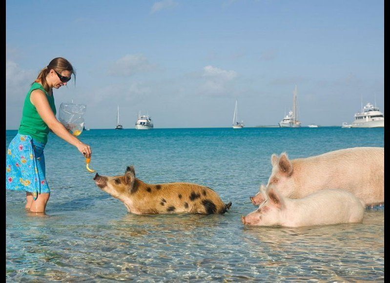 <strong>WADE WITH PIGS</strong>