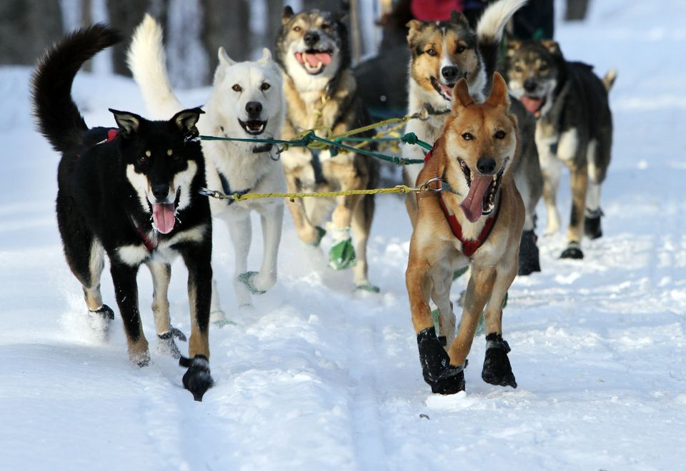 """A group of sled dogs from the Muddy Paw Sled Dog Kennel runs a trail in Jefferson, N.H. The kennel takes in rescues and """"seco"""
