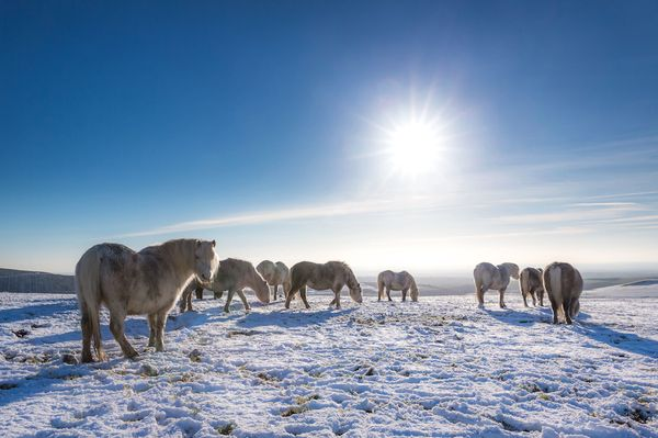 Mountain ponies in the snow on the Preseli Hills in Pembrokeshire, Wales, Britain - 28 Dec 2014