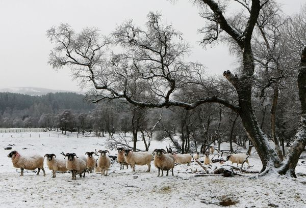 Sheep near the Balmoral Estate, Aberdeenshire, as wintry weather swept the UK, with travellers left stranded as heavy snow co