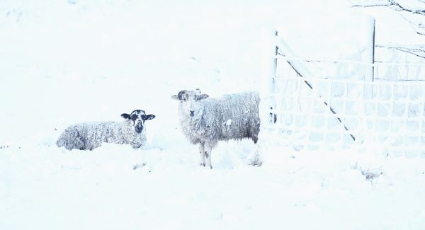 Sheep in a snow covered field in Langley near Macclesfield as wintry weather swept the UK, with travellers left stranded as h