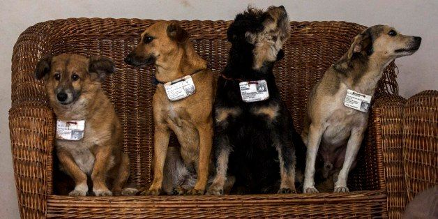 In this March 13, 2015 photo, former street dogs, from left, Leon, Canela, Vladimir, and Aparicio, pose for a group photo ins