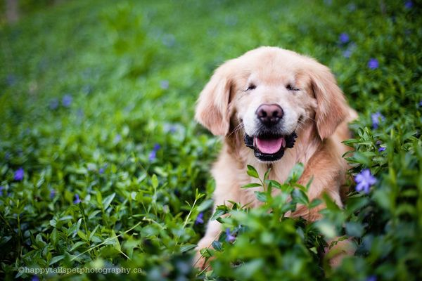 "Smiley, a 12-year-old golden retriever, works primarily as a therapy dog for children in Ontario. <a href=""http://www.huffing"