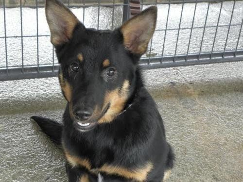 A 1 year old Male Sheltie/Shepherd Mix. He is a smart boy with energy. He gets along with other dogs and kids.