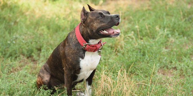 Staffordshire bull terrier portrait in the green