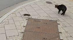 Η ντροπή του είδους! Ποντίκι- τιμωρός κυνηγάει ανελέητα μια γάτα