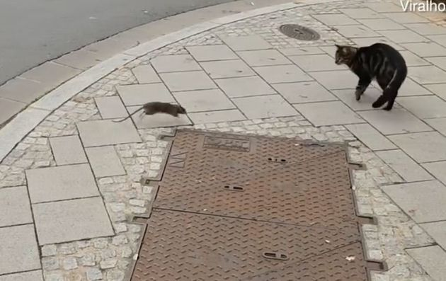 Ποντίκι- τιμωρός κυνηγάει ανελέητα μια