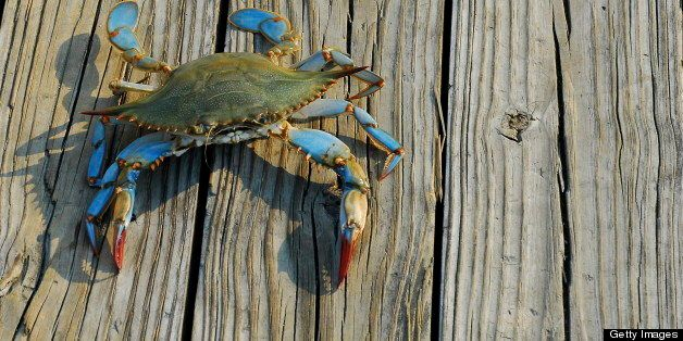 A female Maryland Blue Crab from the Chesapeake Bay walks along a pier after being caught by a fisherman in the late afternoo