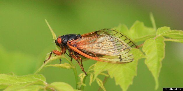 cicada in missouri.