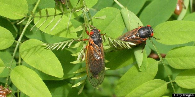 RESON, VA - MAY 16:  Adult cicadas dry their wings on leaves May 16, 2004 in Reston, Virginia. After 17-years living below gr