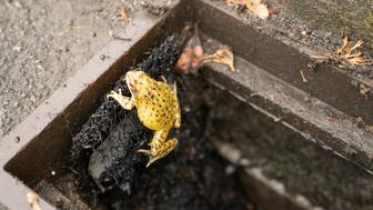A common frog is seen climbing out of a drain using an 'amphibian ladder' designed by the British Herpetological Society to help frogs, toads, salamanders and newts escape roadside gully pots, in Warwickshire, Britain, October 15, 2018. REUTERS/
