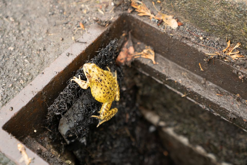 A common frog is seen climbing out of a drain using an 'amphibian ladder' designed by the British Herpetological Society to h