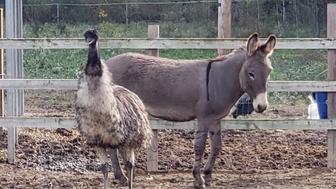 Jack, a male donkey, and Diane, a female emu together at Carolina Waterfowl Rescue.