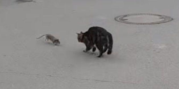 Ce chat est tombé sur le rat le plus courageux du