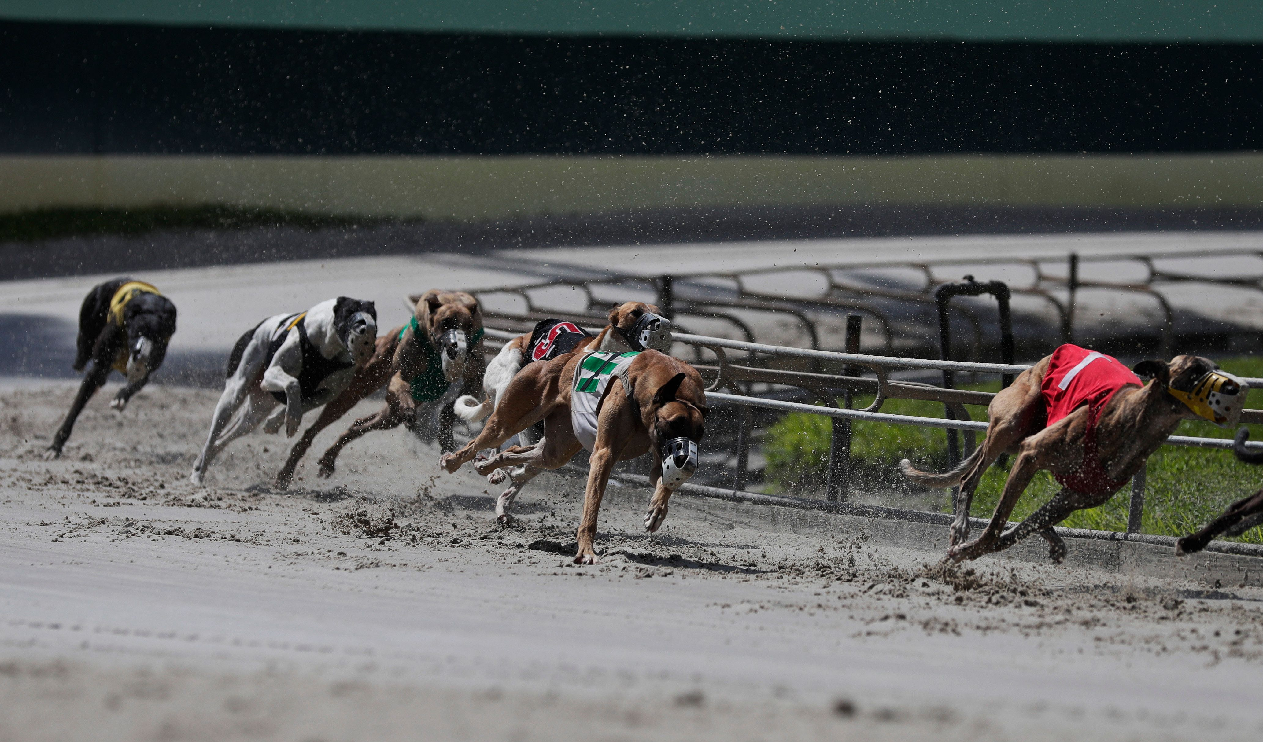 FILE - In this Oct. 4, 2018, file photo, greyhound dogs sprint around a turn during a race at the Palm Beach Kennel Club, in West Palm Beach, Fla. Florida greyhound racing will soon hit the finish line as the sport suffered a rout at the ballot box. The state voted 69 to 31 percent Tuesday, Nov. 6, to pass Amendment 13, which bans the sport beginning on Jan. 1, 2021. (AP Photo/Brynn Anderson, File)
