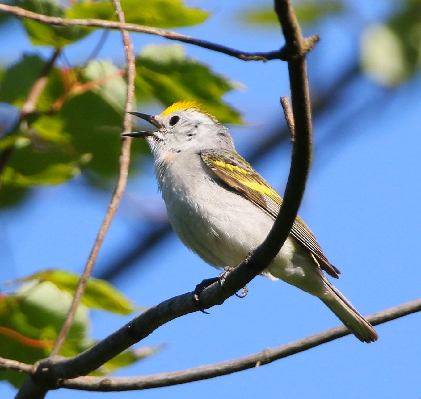 The rare hybrid singing