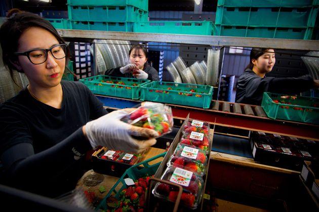Σύλληψη γυναίκας για τις φράουλες με τις βελόνες