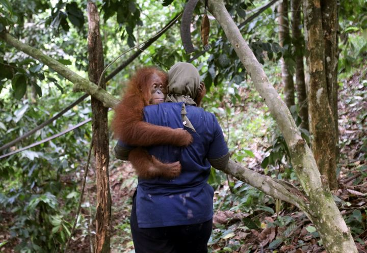A veterinarian with the Sumatran Orangutan Conservation Programme carries a baby orangutan at SOCP's orangutan rehabilitation