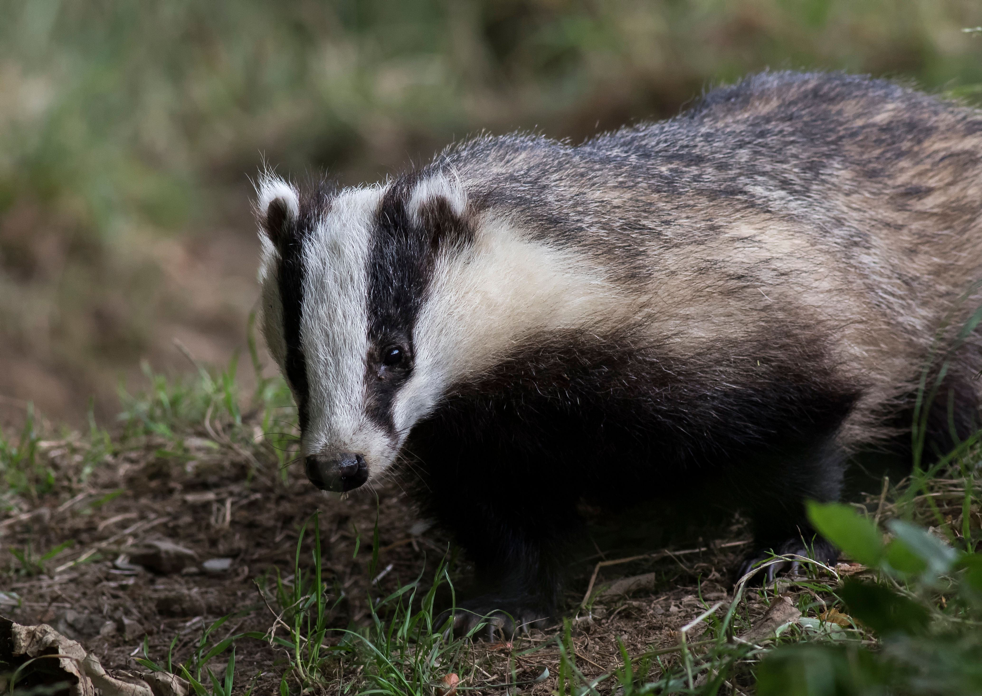 Vets Accuse Ministers Of Telling 'Barefaced Lies' About Badger Cull