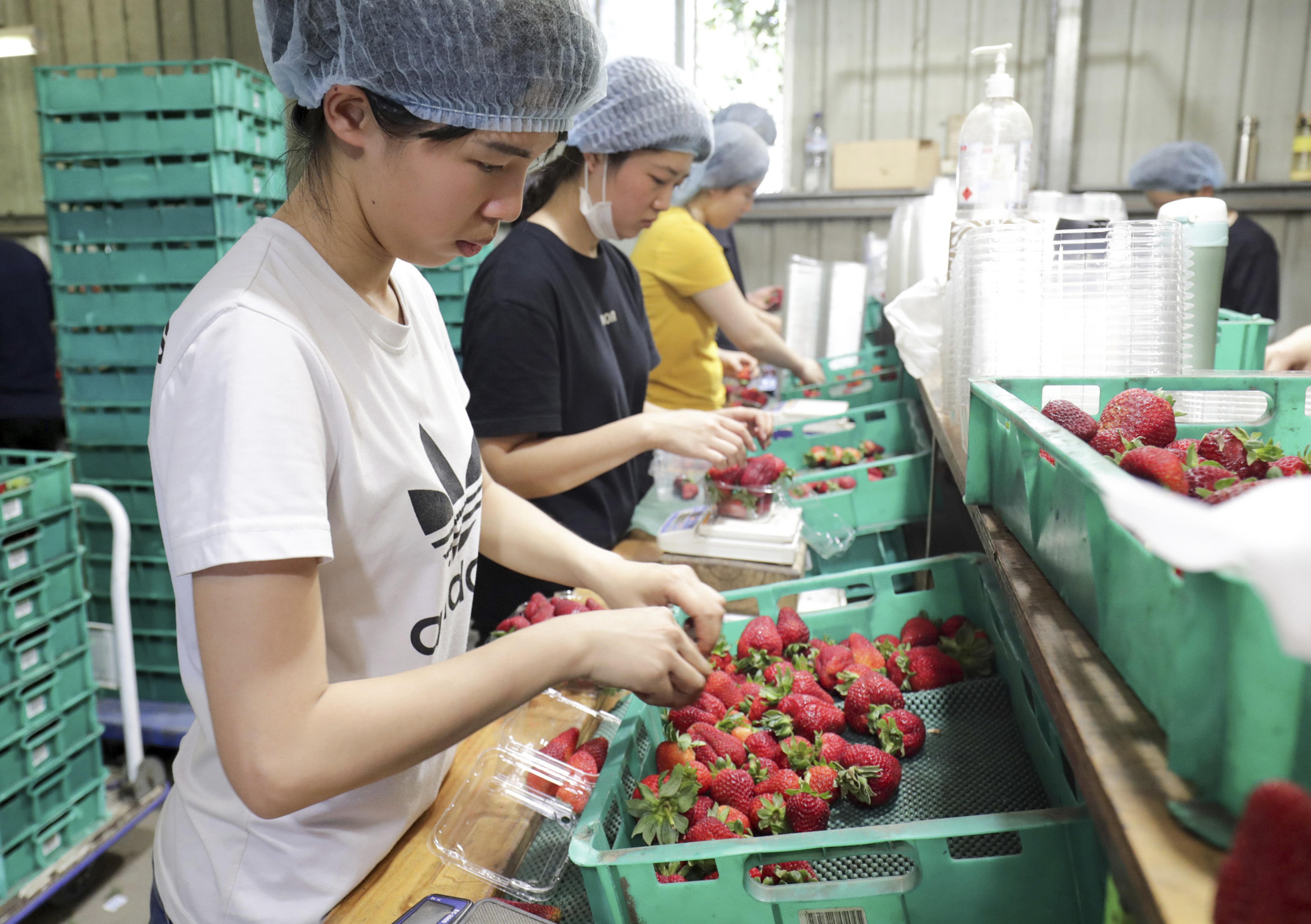 Workers sort strawberries (file