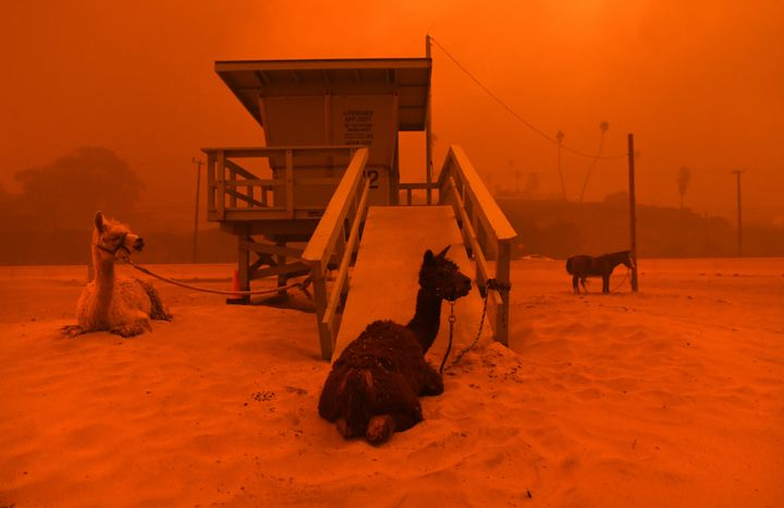 Alpacas are seen tied to a lifeguard stand on the beach in Malibu, California, as the Woolsey fire comes down the hill on Fri