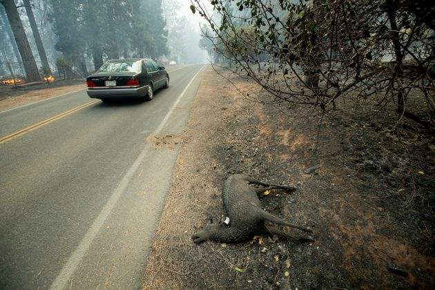 A charred animal lies on a roadside as the Camp Fire tears through Paradise, California, on