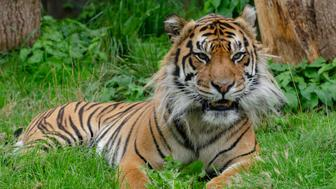 A bengal tiger sits in the grass and rests
