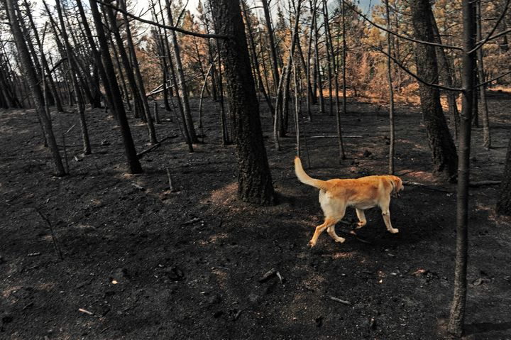 A dog walks through an area of the forest in the Pyramid Hills subdivision of Cascade, Colorado, that was heavily burned from