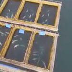 Τουλάχιστον 100 φάλαινες αιχμάλωτες σε ρωσικό κόλπο – Προορίζονται για κινεζικά θαλάσσια