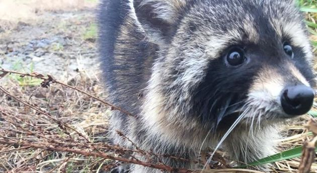 Police Lock Up Angry Raccoons Drunk On Crabapple Hooch Until They Sober Up