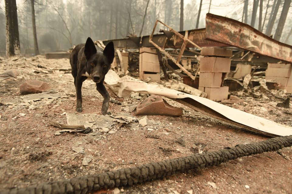 A cadaver dog searches for