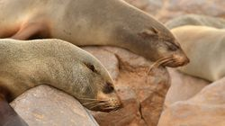 WORRYING: Plastic Microfibres Found In Poop of Seals Living On Remote Chilean