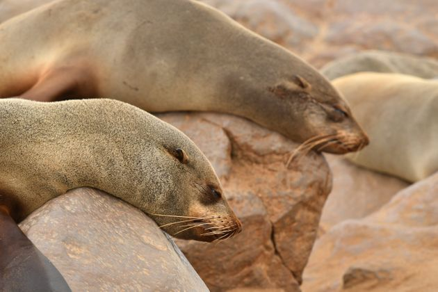 Plastic Microfibres Found In Poop of Seals Living On Remote Chilean
