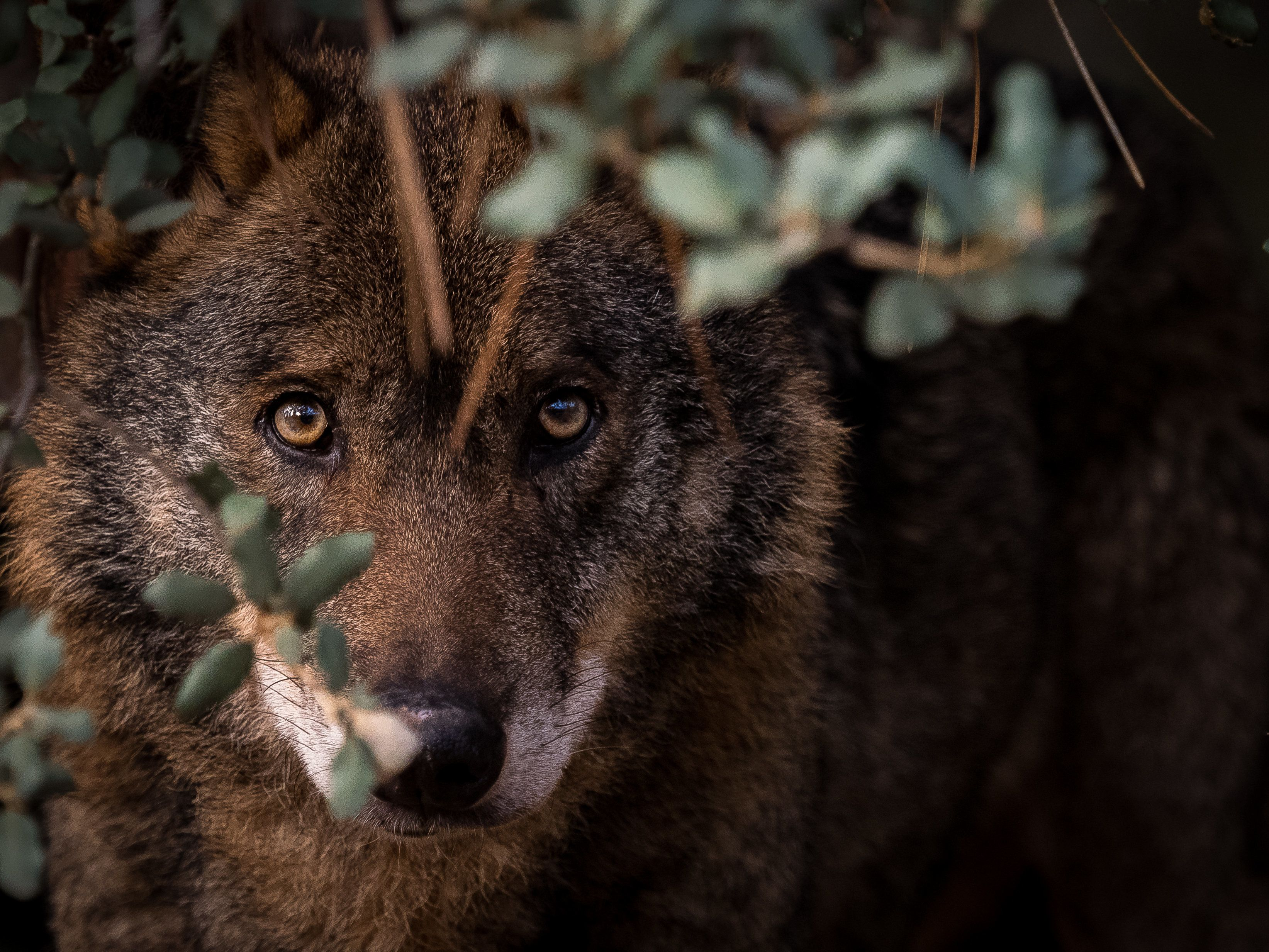 The Once Hated Wolf Could Now Save A Struggling Community
