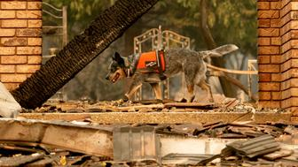 A cadaver dog searches for victims of the Camp Fire in Paradise, Calif., on Thursday, Nov. 15, 2018. (AP Photo/Noah Berger)