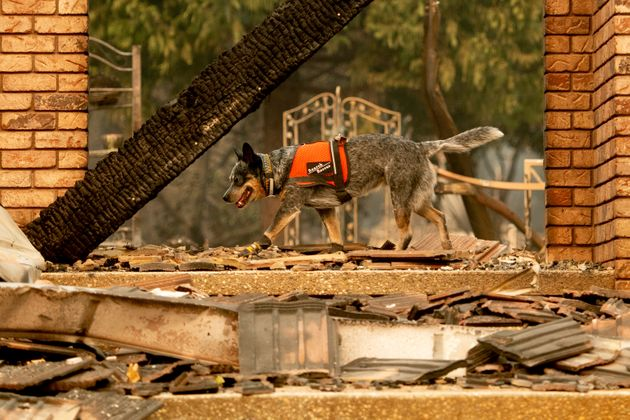 A dog searches for victims of the Camp fire in Paradise, California, on Nov. 15,