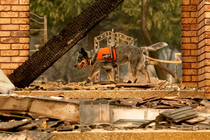 A dog searches for victims of the Camp fire in Paradise, California, on Nov. 15, 2018.