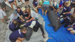 Twin Manatees Returned To Water After Mum