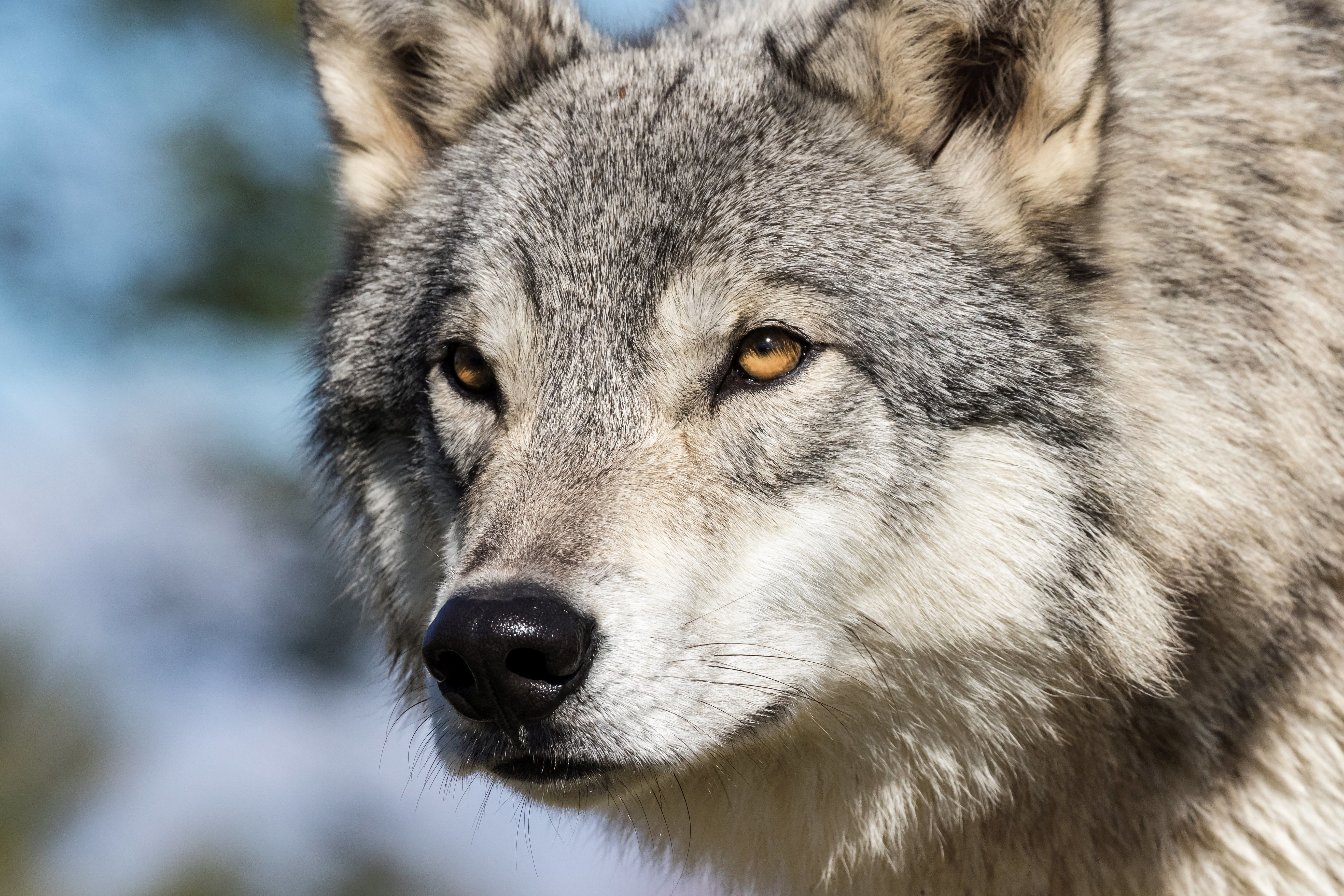 Close up portrait of a wolf staring intently
