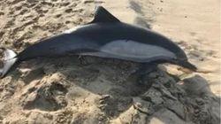 캘리포니아 해변에서 총에 맞아 죽은 돌고래가