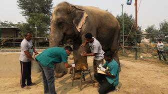 Vets treat a wound of Asha, a female elephant, at the Wildlife SOS Elephant Conservation and Care Center run by a non-governmental organisation in the northern town of Mathura, India, November 17, 2018. Picture taken November 17, 2018. REUTERS/Anushree Fadnavis