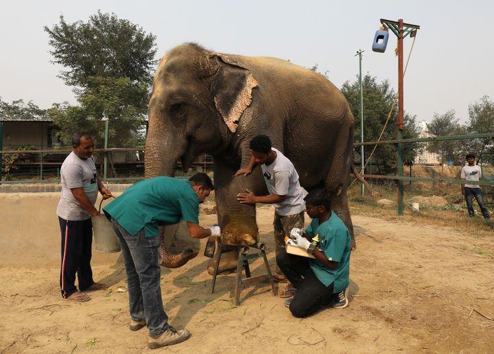 Vets treat a wound of Asha, a femaleelephant.