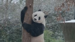 Panda Frolics In First Winter