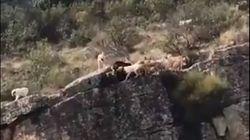 Ανατριχιαστικές εικόνες: Κυνηγός στέλνει 12 σκυλιά να κυνηγήσουν ελάφι και πέφτουν από