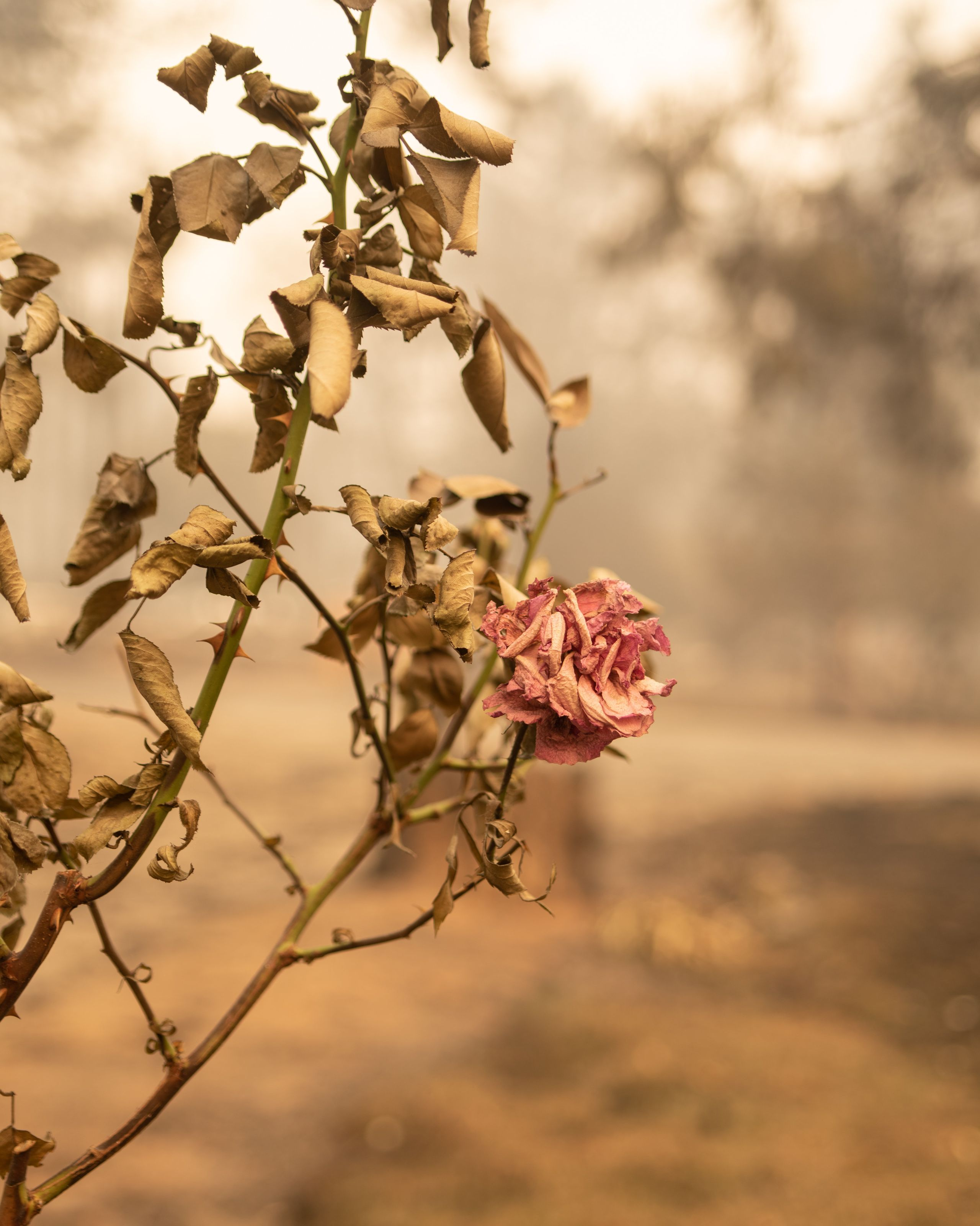A rose bush burned by the Camp fire.