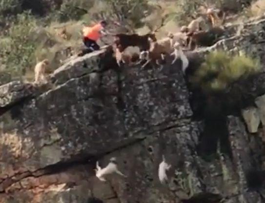 Jagd-Hunde und ein Hirsch fallen in Schlucht – Schuld daran ist der