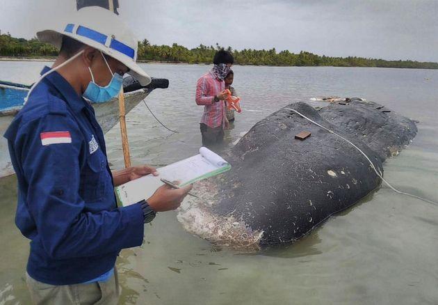 Nεκρή φάλαινα στην Ινδονησία - Είχε στο στομάχι της 6 κιλά πλαστικών αποβλήτων