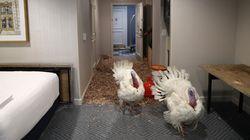 Χλιδή και πεντάστερα ξενοδοχεία για τις γαλοπούλες που θα διεκδικήσουν τη χάρη από τον Αμερικανό
