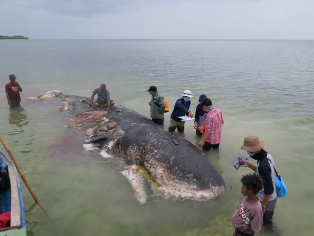 A dead sperm whale with pounds of plastic garbage in its belly in Wakatobi, Indonesia, on Nov.