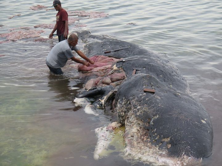 People collect plastic trash from the whale.